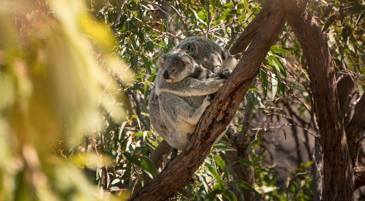 AU_sleeping_koalas.jpg